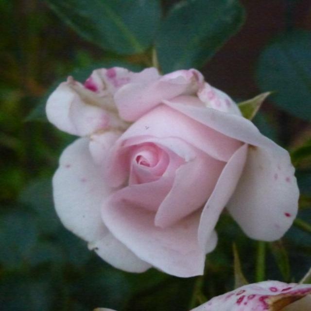 neue Rose