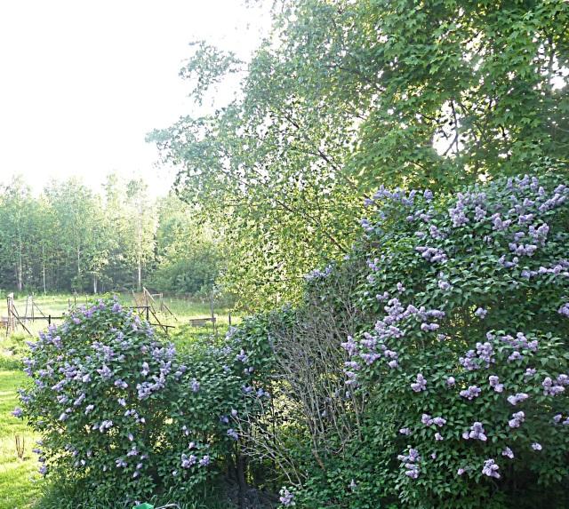 flieder im Garten