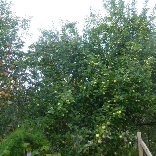 apples-for-gelee