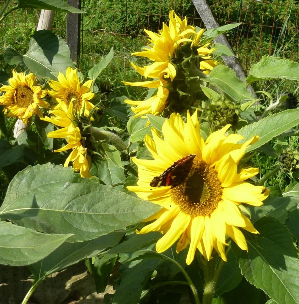 nektar satt
