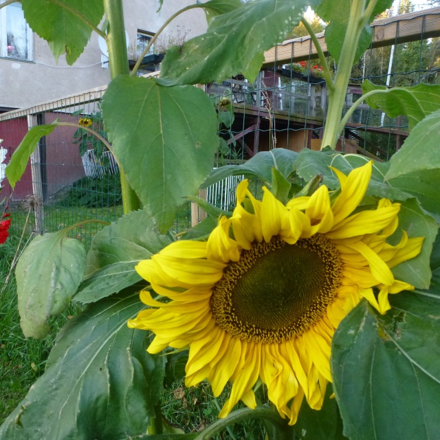 sunflower-20016